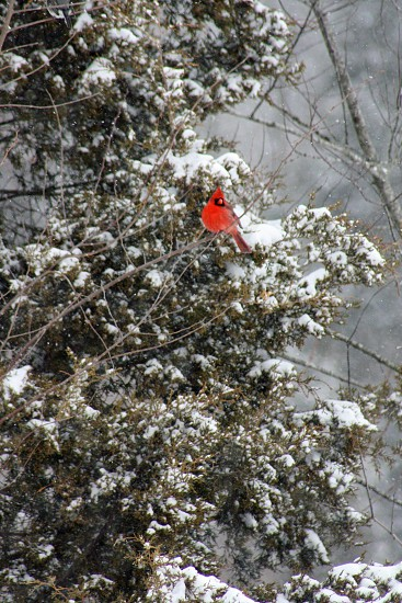 cardinal red snow evergreen cold photo