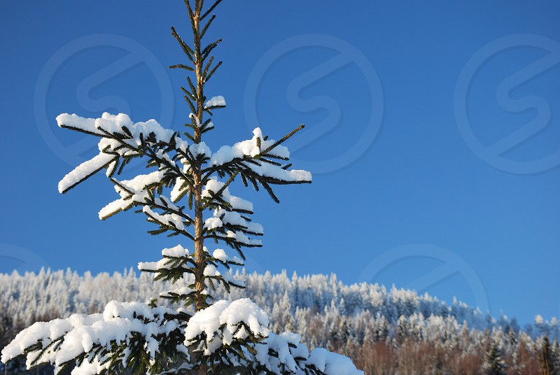 pine tree covered with snow photo