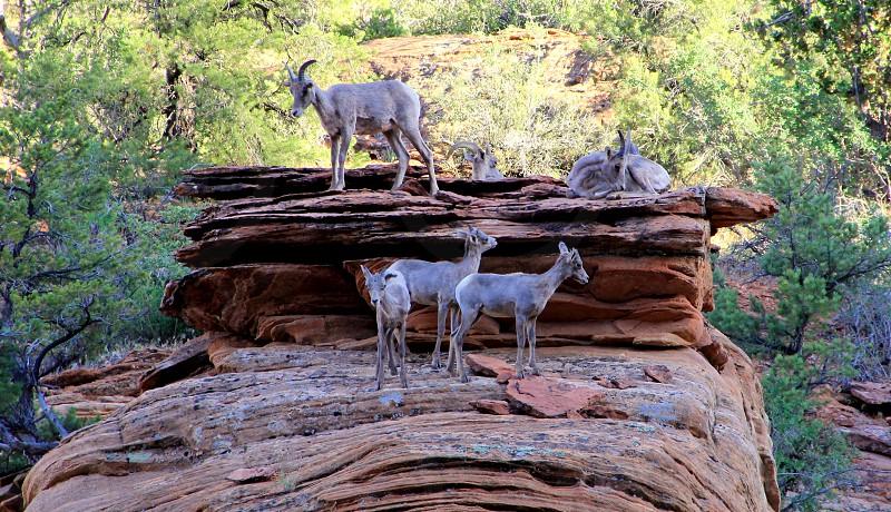 mountain goats utah zion national park photo