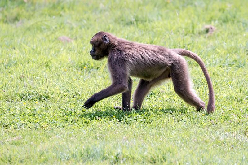 Gelada Baboon (Theropithecus gelada) photo