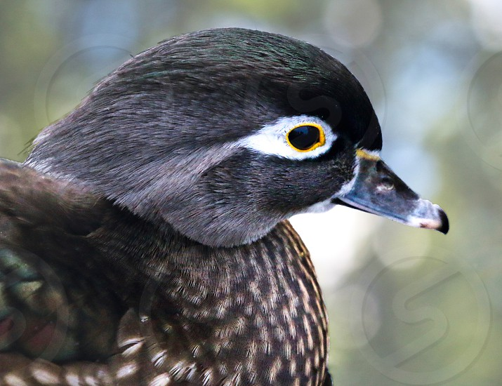 Wood Duck photo