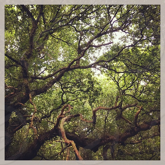 Mature trees with twisted branches in the forest photo