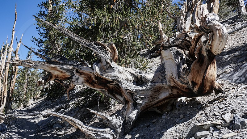 The dense resinous wood of Bristlecone Pine trees resists decay for thousands of years. This dramatic bare trunk in the White Mountains of California. may be 10000 years old. photo