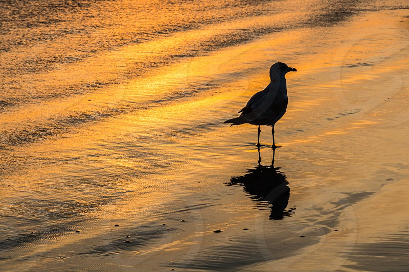 Silhouette of a seagull on a beach with golden orange light.   photo