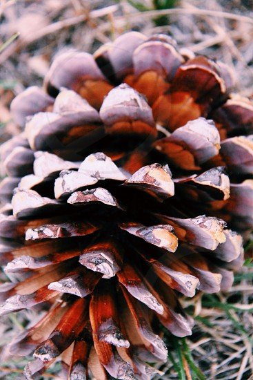brown pine cone photo