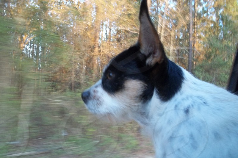 PorkChop the road dog focused on the road ahead. Next adventure dead ahead. She loves riding into the unknown.  photo