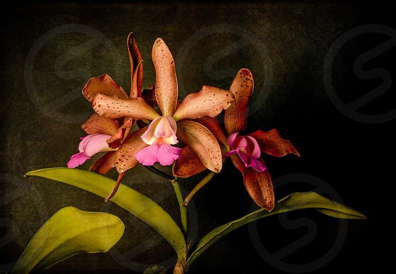Orchids flowers cattleya photo