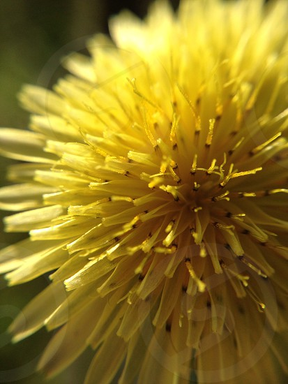 yellow dandelion  photo