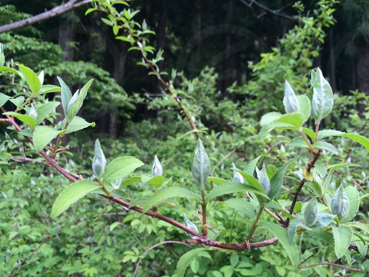 若葉(Young leaves) photo