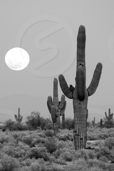 Saguaro cactus with big full moon in the background. Black and white. photo