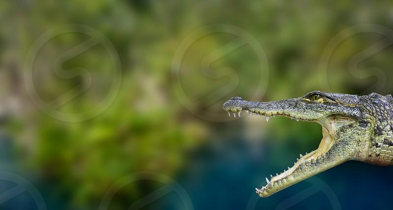 Crocodile photomount in Riviera Maya of Mayan Mexico photo