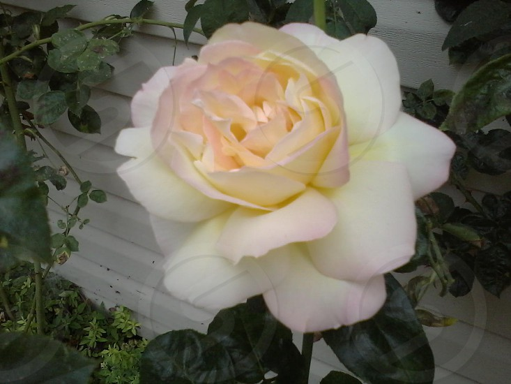 Beautiful Oregon rose photo