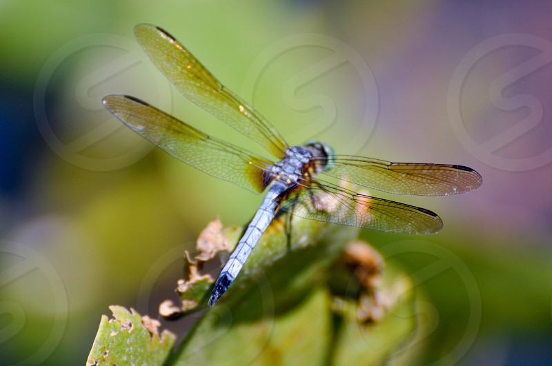 Dragonfly insect flying insect bug winged insects photo
