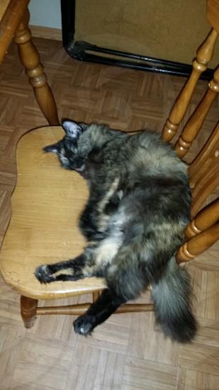 sleeping baby kitty. cat sleep adotable calico feline photo