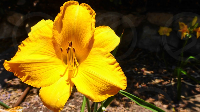 Big beautiful yellow flower macro in Israel photo