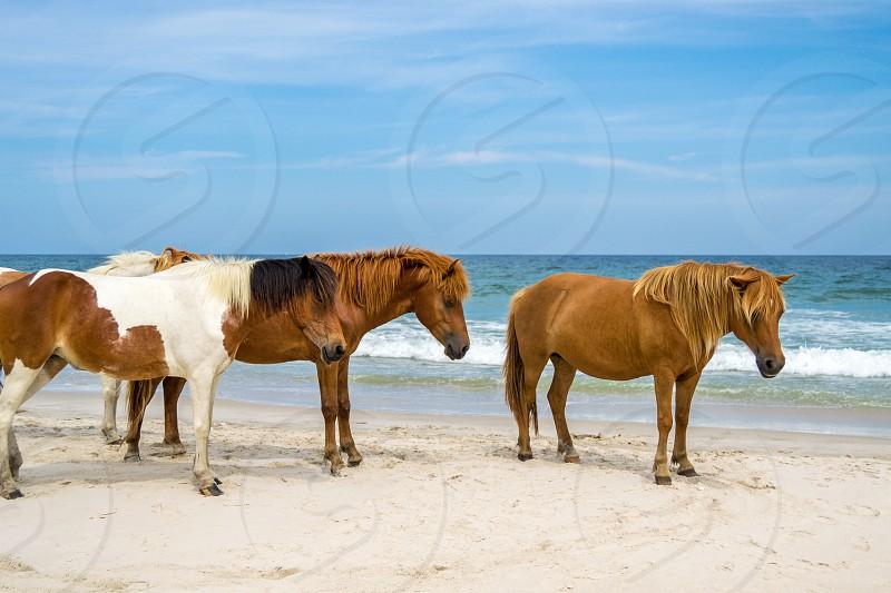 Wild Horses in Assateague Island - Maryland photo