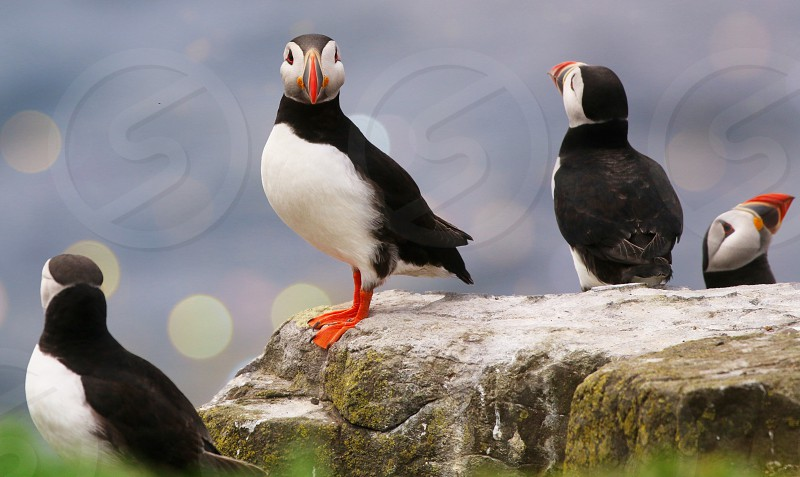 The Atlantic Puffins of the Farne Islands Northumbria UK photo