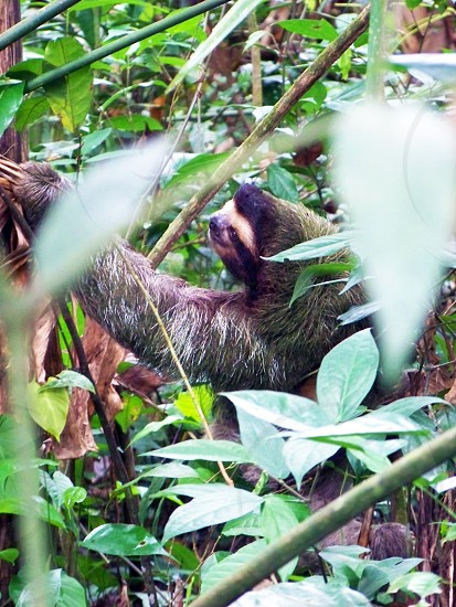 A Sloth in the jungles of Costa Rica photo