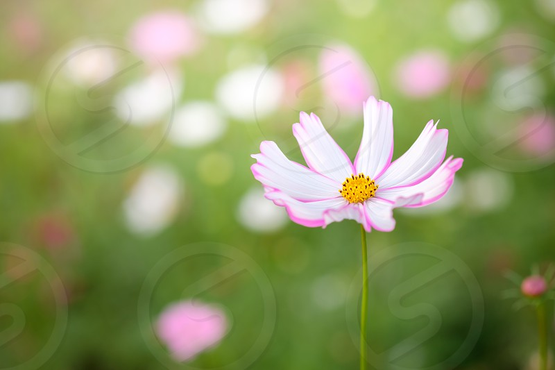 field of blooming pink and white cosmos flower in the garden Thailand. photo