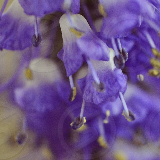 close up of purple flower petals with stem protruding out photo