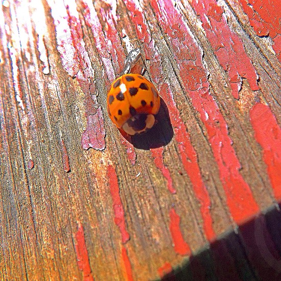 Ladybug ladybug fly away home! photo