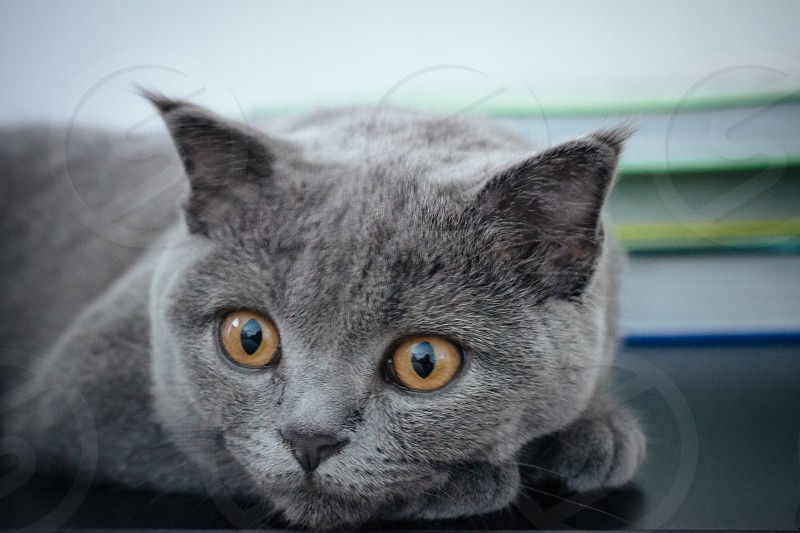 Close up of a Scottish Fold cat photo