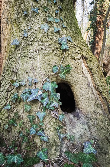 Tree Trunk with Hole and Climbing Ivy Plant photo