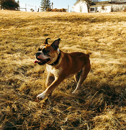 "Pure Bliss. My bulldog ""Bruiser"" running in the field.  photo"