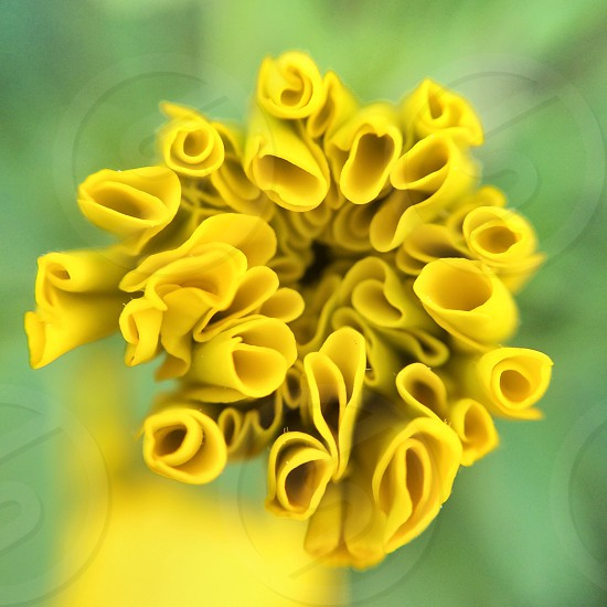 Macro of a yellow marygold flower.  photo