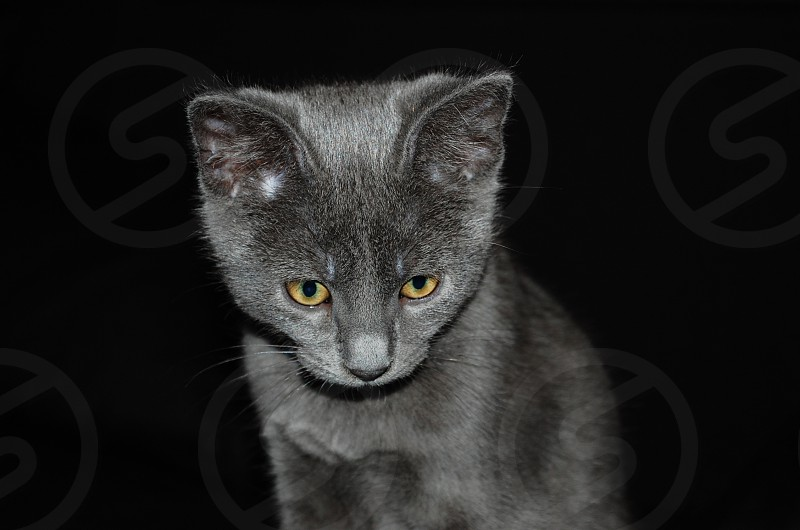cat kitten grey photo