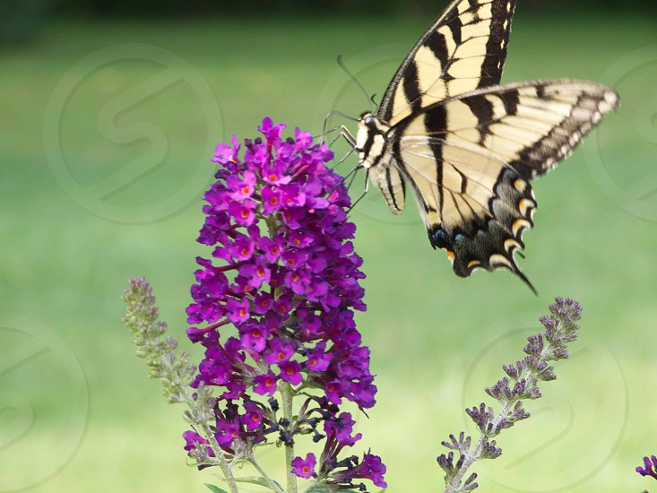gray and black butterfly on top of a purple flower photo