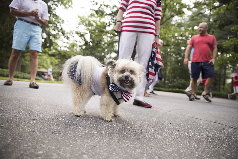 Dog; patriotic; Fourth of July; parade; American photo