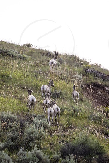 wild goats along the road photo