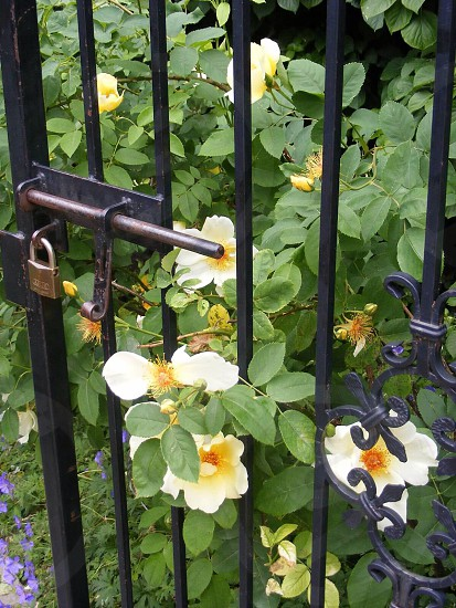 white and yellow flowers and green leaves behind black gate photo