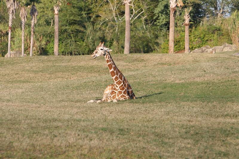 Baby Giraffe   photo