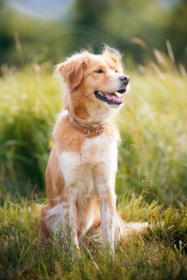 Red dog sitting on a grass field photo