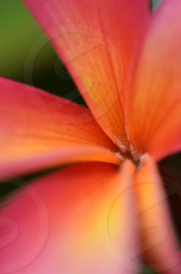 Tropical plumeria flower bloom in the spring photo