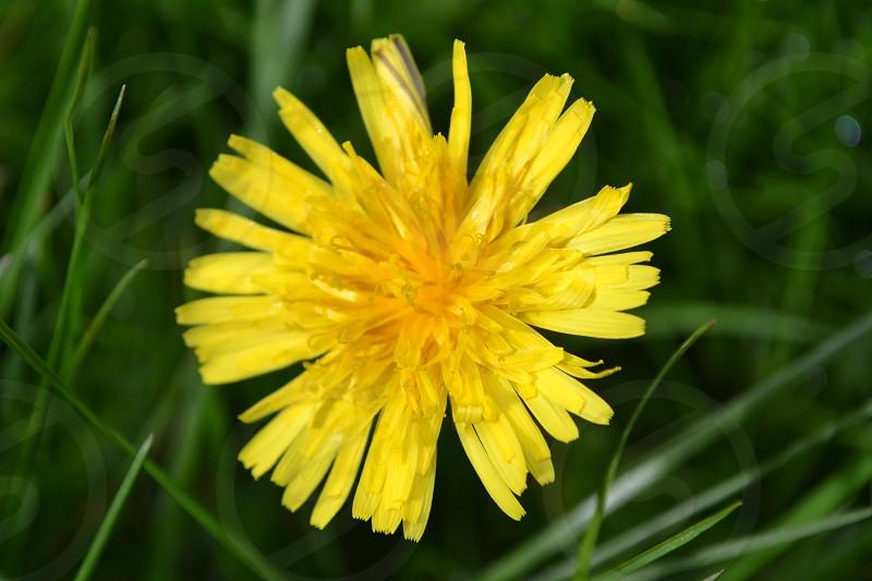 Grass Flower Yellow Flower Dandelion photo