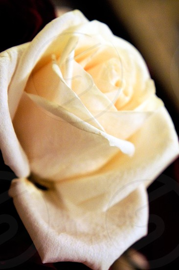 Soft white rose photo