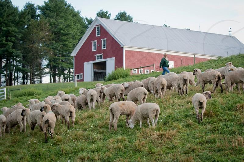 sheep herd  photo