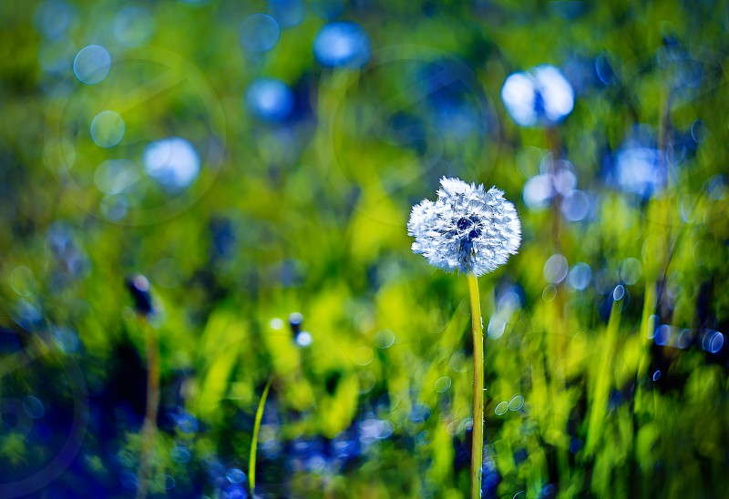 Beautiful white dandelion on green grass background photo