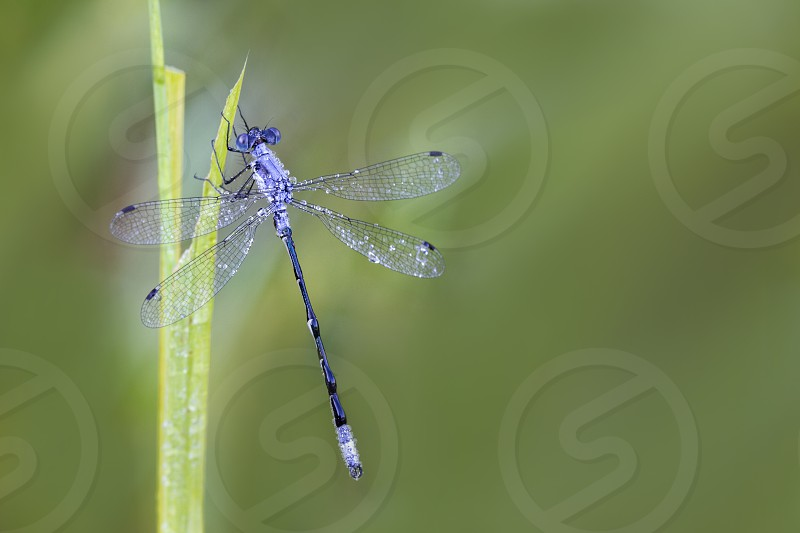 Dew covered purple dragonfly photo