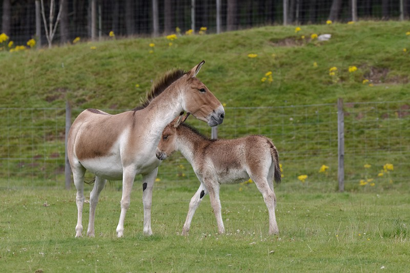 Przewalski Horse (Equus ferus przewalskii) photo
