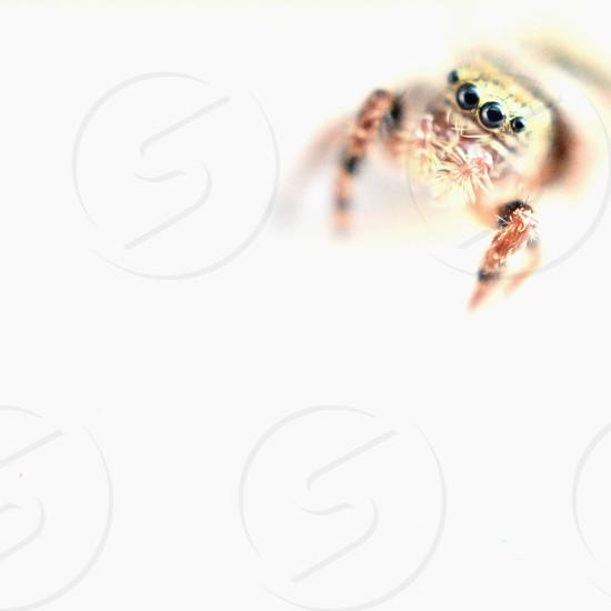 spider arachnid jumper photo