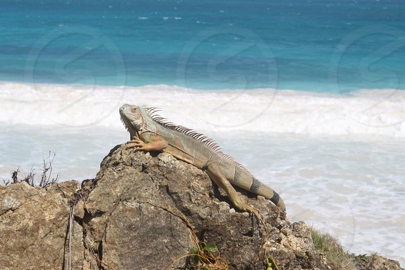 Iguana in St. Maarten  photo