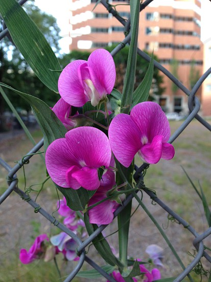 Purple flowers chain link fence urban flower  photo