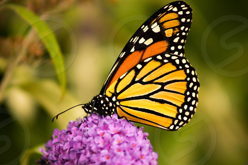 beauty butterfly peaceful monarch photo