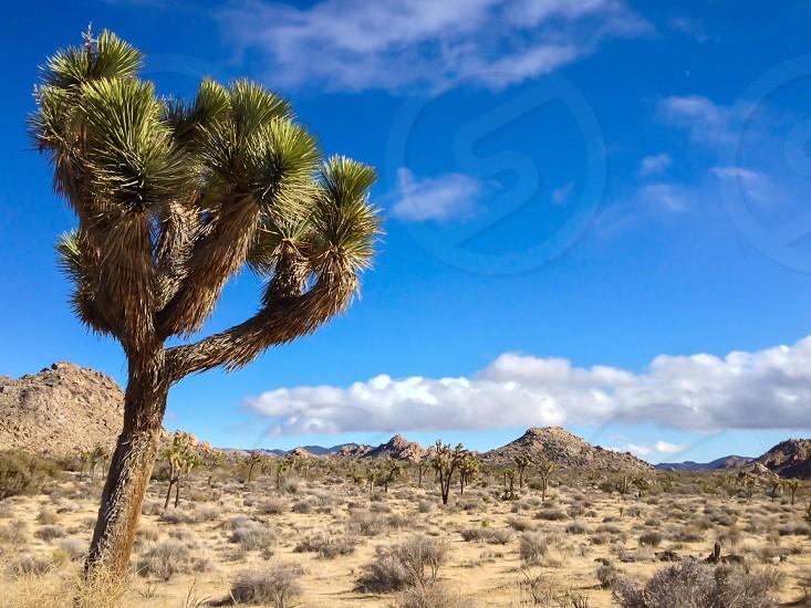 Joshua Tree desertscape  photo