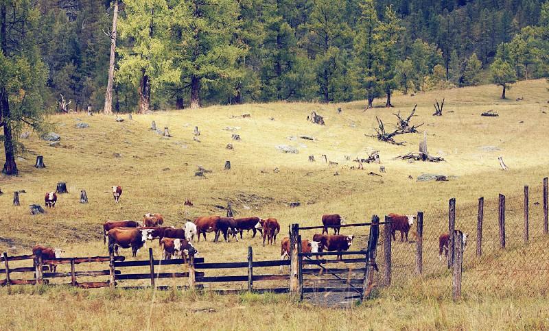 cows are grazed photo
