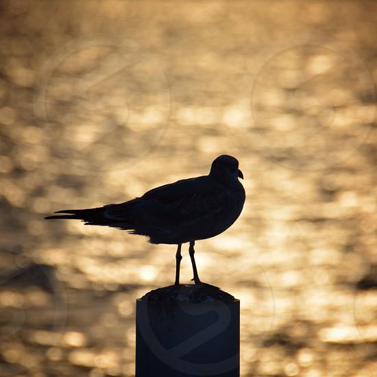 Sea gull Corpus Christi Bay Texas Coast photo